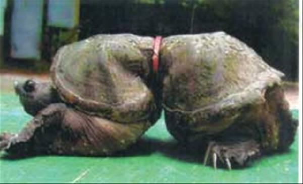 Ésta pobre tortuga quedó encadenada de por vida a una anilla de ...